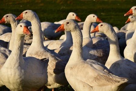 D'après la légende, autrefois, les oies sont utilisées comme alarme !