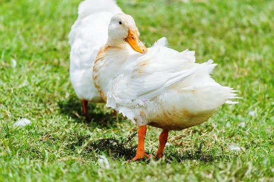 Isolant en plumes de canard pour vos travaux de rénovation